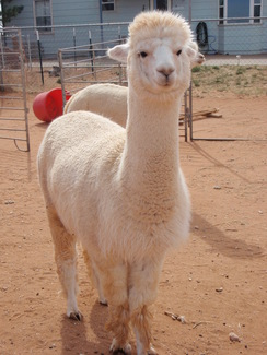 Photo of Adopt-A-Paca – Dolce