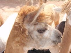 Photo of Adopt-A-Paca – Chai