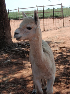 Photo of Adopt-A-Paca – Klondike