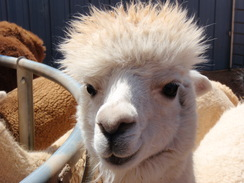 Photo of Adopt-A-Paca - Ana Lynne