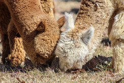 Alpaca's are very efficient eaters.