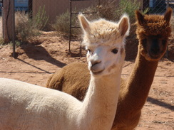 Photo of Adopt-A-Paca – Your Choice!