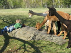 Alpacas are inquisitive, friendly, and gentle!