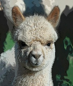 Photo of Get Started In the Alpaca Business