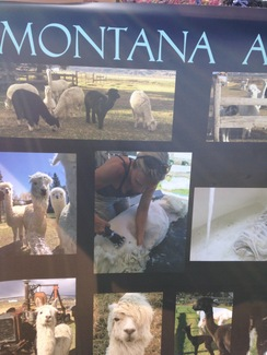 Photo of Shearing Suris and Huacayas in MT,ID,WY