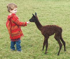 A days-old alpaca cria meets someone of his size!