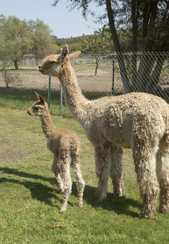Photo of Newborn Cria Care--6.17.17