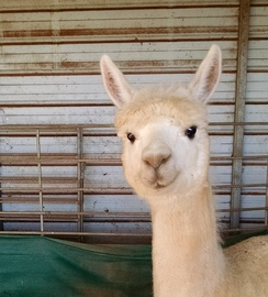 Photo of Adopt-A-Paca Blancita
