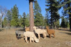 Dryland Alpaca Farming