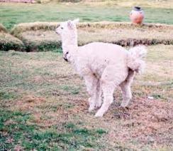 Photo of SCAT: Alpaca Poop for spring