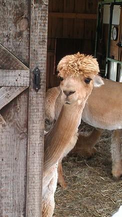 Courtesy of Southern Legacy Alpaca Farm