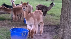 Photo of Board Your Alpaca With Us