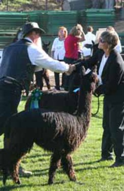 Photo of Showing Your Alpacas~ March 4