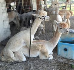Classic alpaca breeding posture