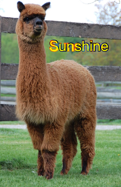 Photo of Sunshine - a rich medium brown