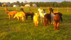 Alpacas out on pasture