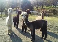 Thistle Dew Alpaca Farm - Logo