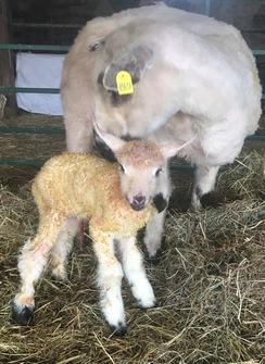 Teeswater Lamb