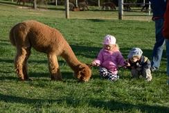 Meet our well known alpaca, Cordon Bleu!