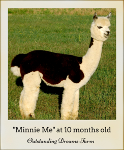 Consider adding Minnie Me to your herd! At 10 months old she has a lovely temperament and is a real