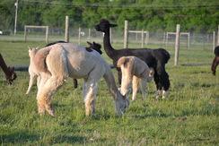 Alpaca Manure being created