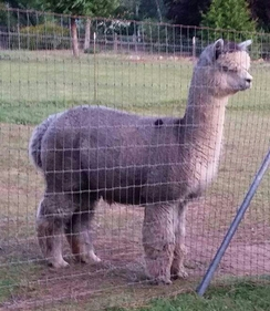Photo of Alpaca Breeding