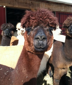 Photo of Red-brown Alpaca roving