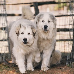 Quest and Atlas - our amazing livestock guardian dogs