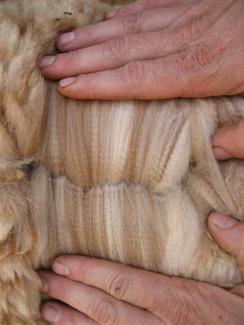 Alpaca fiber showing crimp and shades of color