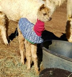 A baby alpaca known as a 'cria'