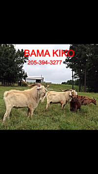 Bama Kiko Farm - Logo