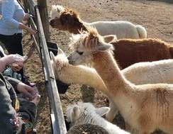Photo of Alpaca Farm Experience