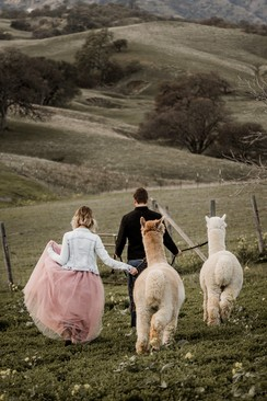 Photo of Alpaca Photo Shoots