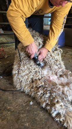 March 31st, Angora Goat Shearing