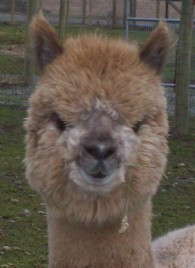 Clover Valley Alpacas - Logo