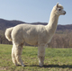 Photo of Silvercloud Farm's Mercurio