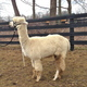 Photo of MFG Caligula's Accoyo America
