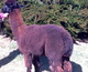 Photo of NRV Alpacas Ebony Fiddler