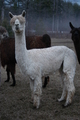 Photo of HHF Mahogony's Princess Ticklefeather
