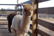 Photo of CHANEL OF HIGHTOP ALPACAS