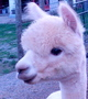 Photo of NRV Alpacas Mandoline