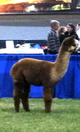 Photo of NRV Alpacas Mocha Latte