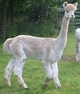 Photo of Sahara's Lady Mia - bred to Snowmass Matrix son!