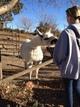 Einstein (Guard Llama) Sniffing Kaitlyn