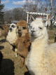 It's nearly shearing season at area alpaca farm