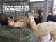 Alpacas and llamas 'bridge the gap' between livestock and pets