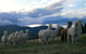 Photo of Herd Reduction: 6-in-3 Snowmass + Gray/Color + Fineness!!