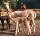 Photo of Alpaca Farm Day Special