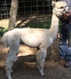 Photo of ALPACAS of NH TITANIUM STEELE
