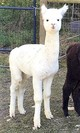 Photo of Rocky of Alpaca Haven KY